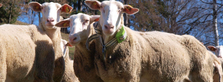 Sigfox: Schafe von heute funken mit 0G